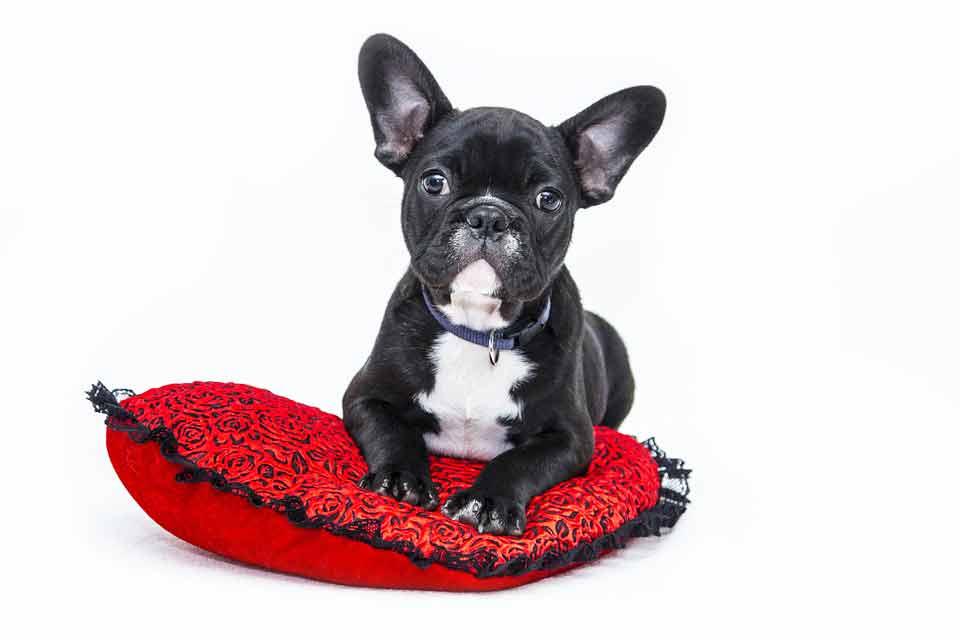bulldog-sante-animale-st-lin